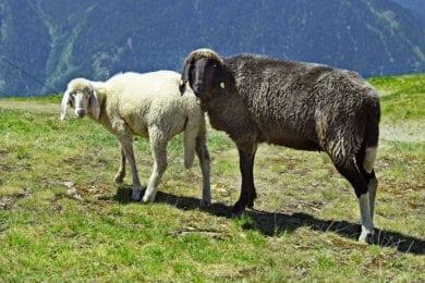 Schafe –Hofeigene Almhütte in Großarl, Hubgrundalm im Tal der Almen, Salzburger Land